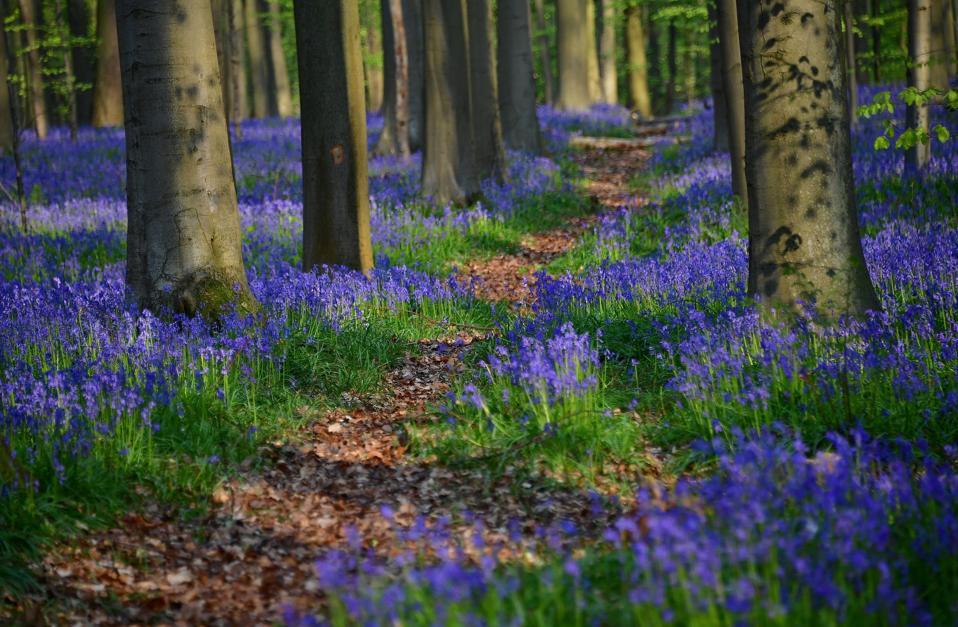 Wild bluebells in the 'Blue Forest' near Halle, Belgium