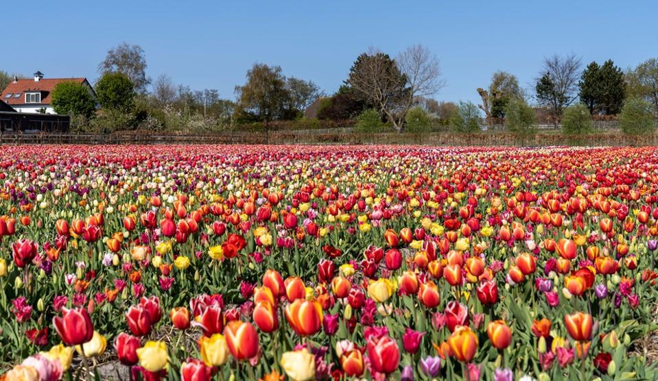 A tulip farm, Hulsebosch, in Hillegom, Netherlands.