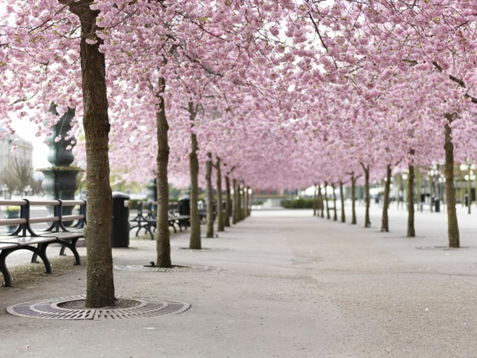 Cherry trees in Sweden