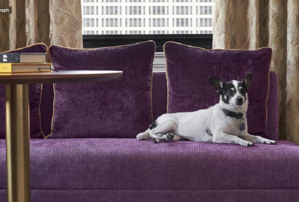 Dog on purple sofa in hotel