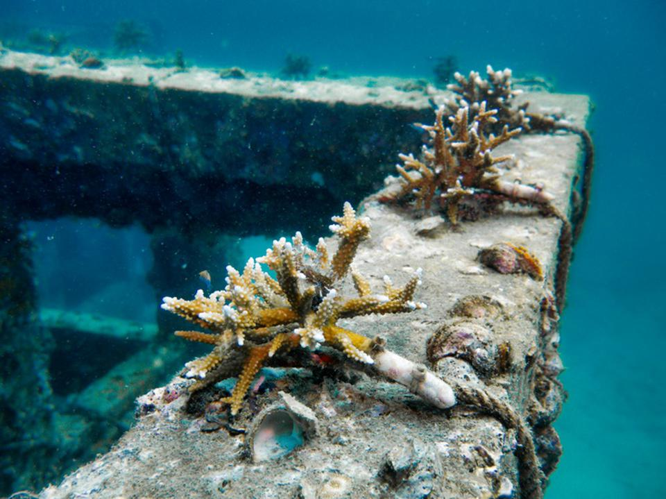 Close-up of corals growing on an artificial reef shaped like a cube.