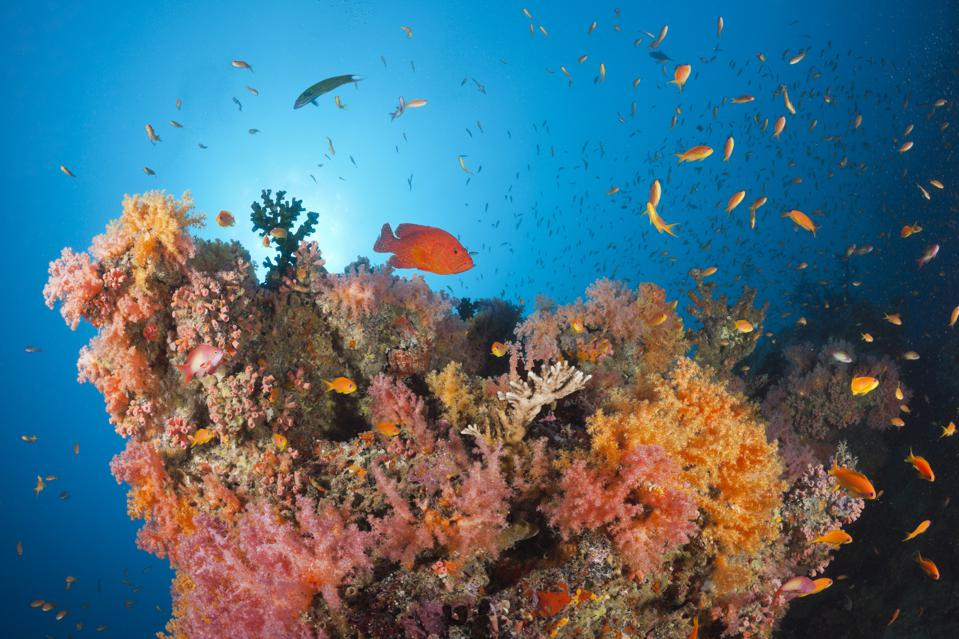 Colorful fishes swim over a colorful and healthy coral reef