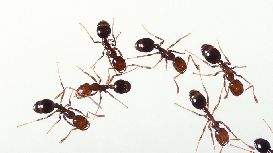 Fire ants (Credit: Stephen Ausmus, USDA / Public Domain)