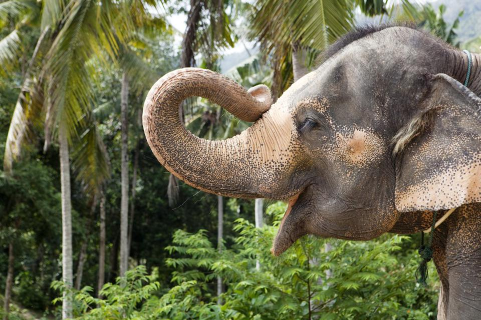 Profile portrait of an elephant holding up his trunk and, seemingly, smiling