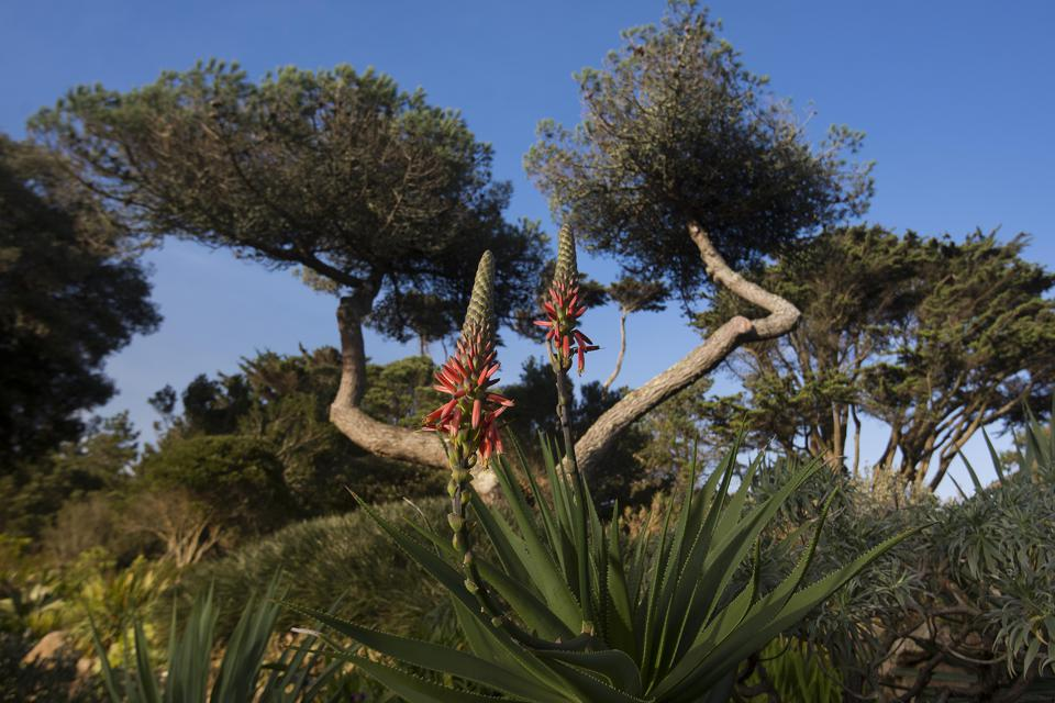 Some of the plant life in Tresco Abbey Garden.