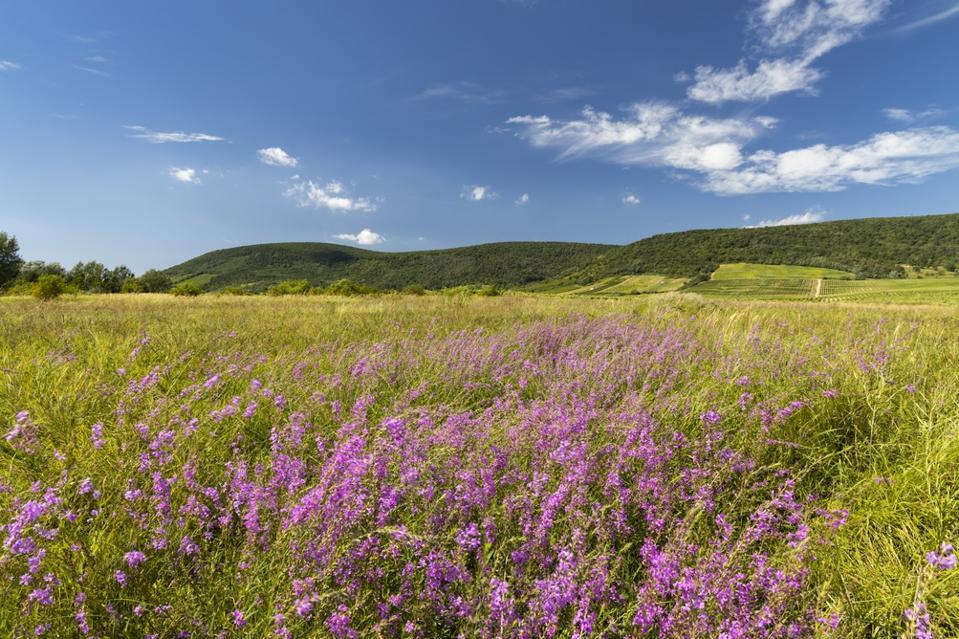 Blooming meadow in Tokaji region, Northern Hungary