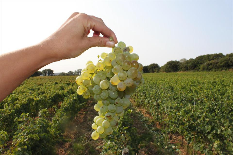 A cluster of ripe Viognier grapes in the Rhone Valley.