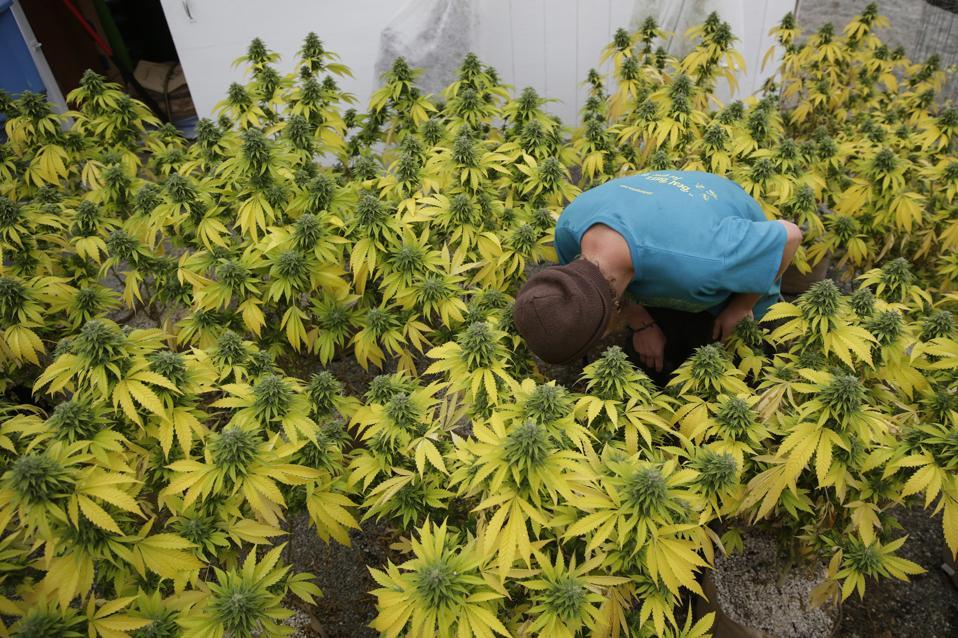 Small Marijuana Farms In Northern California