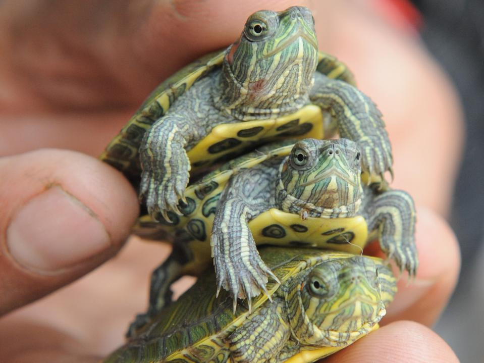 Pet turtle Salmonella outbreak CDC