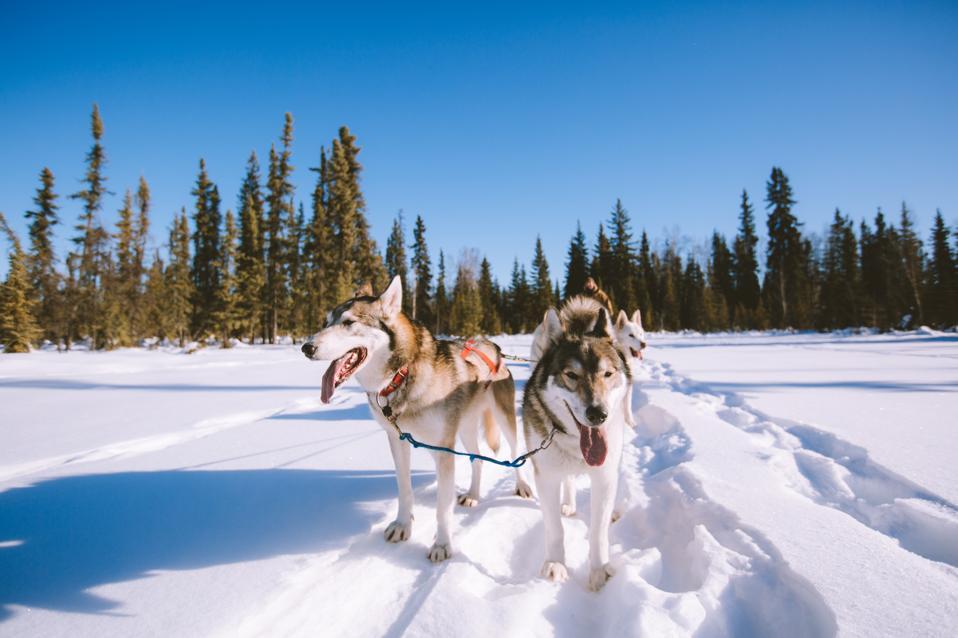 virtual reality Dog Sledding Fairbanks Alaska