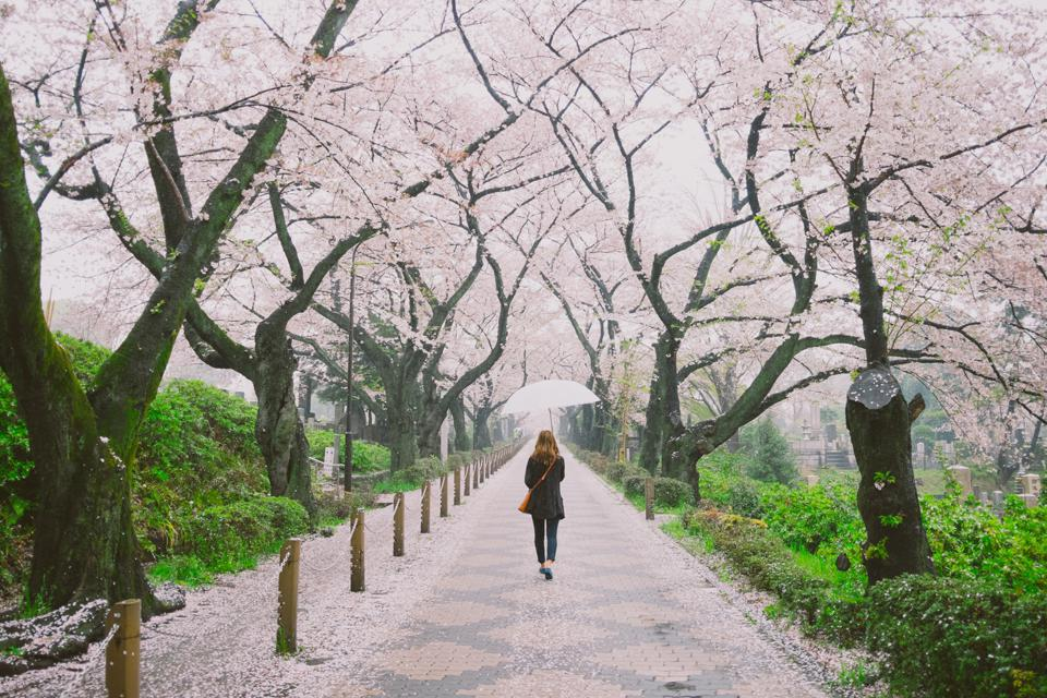 Tokyo's cherry blossoms virtual tour