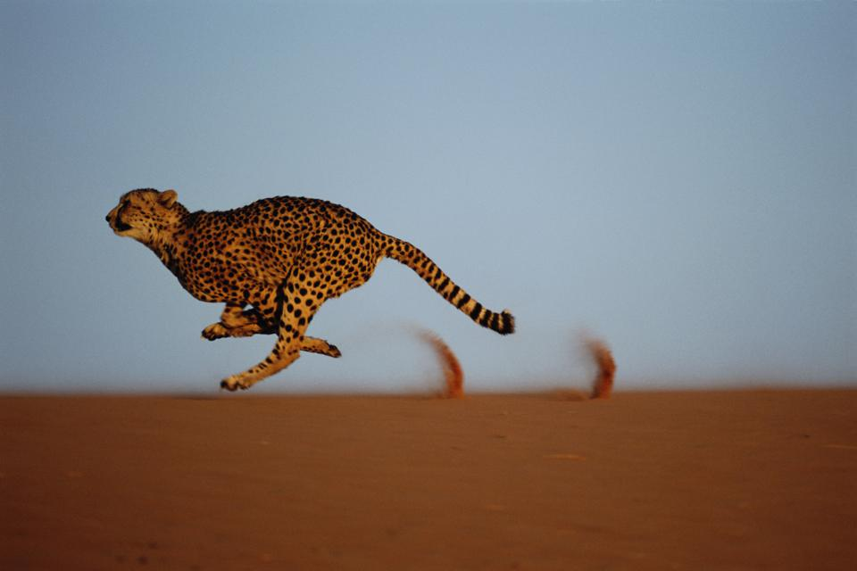 Cheetah (Acinonyx jubatus) running on dune ridge, profile