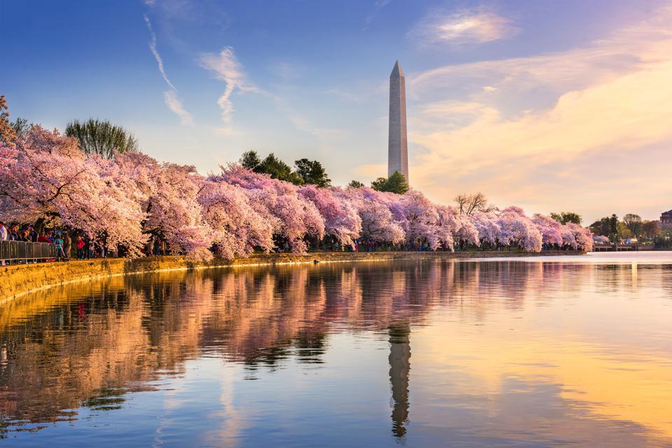 How To Safely Celebrate The Cherry Blossoms In Washington Dc This Year