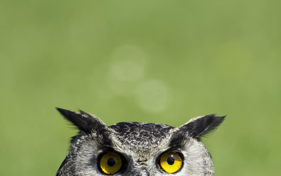 Owl staring with yellow eyes and green background showing importance of wisdom for decision making and community.
