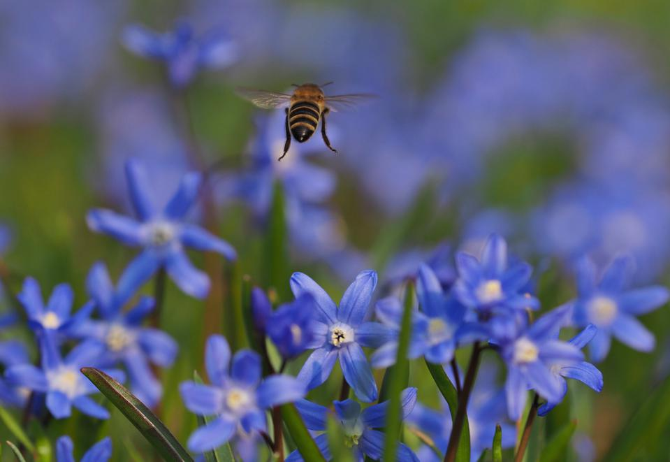 Close up of a bee flying  at the blossom of a bluestar growing in a meadow.