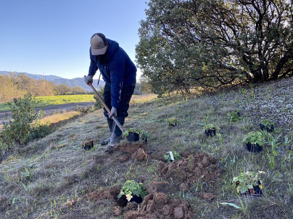 A worker in agricultural operations  planting at Jordan Vineyard & Winery