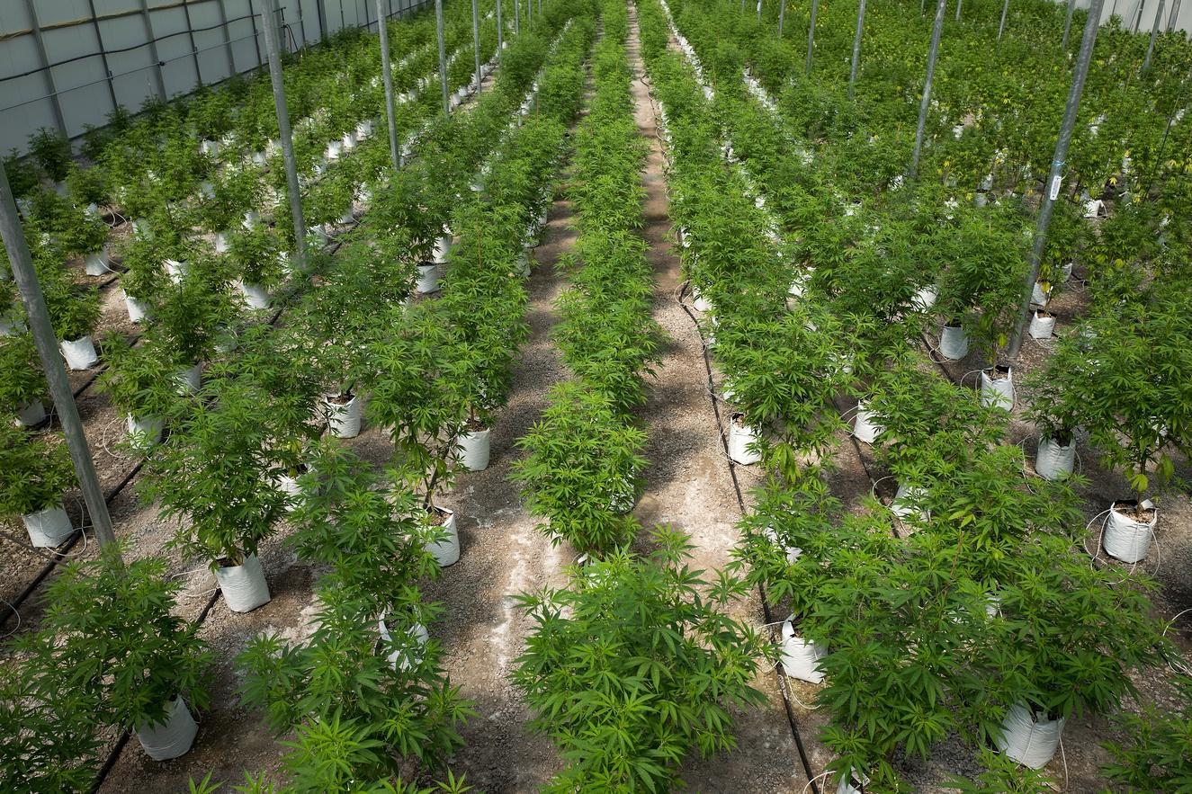 Marijuana, marijuana cultivation, upstate new york, pot, weed, cannabis