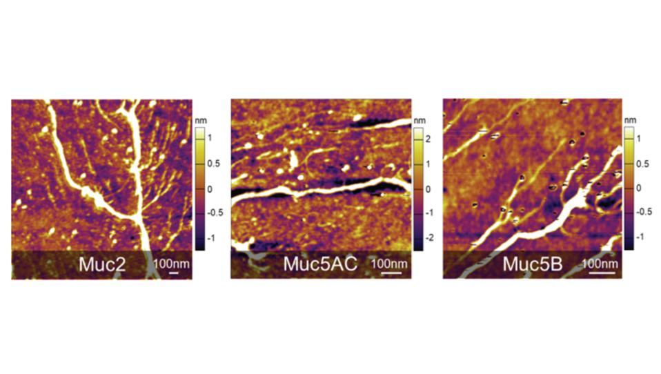 Three atomic force microscopy images of different types of mucins.