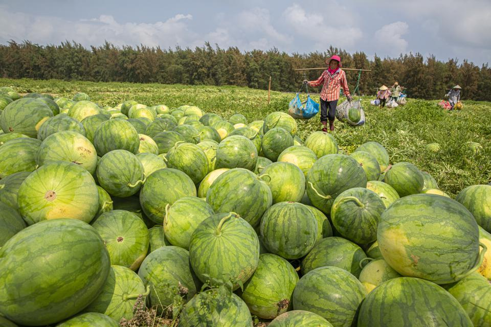 Watermelon Harvest In Hainan