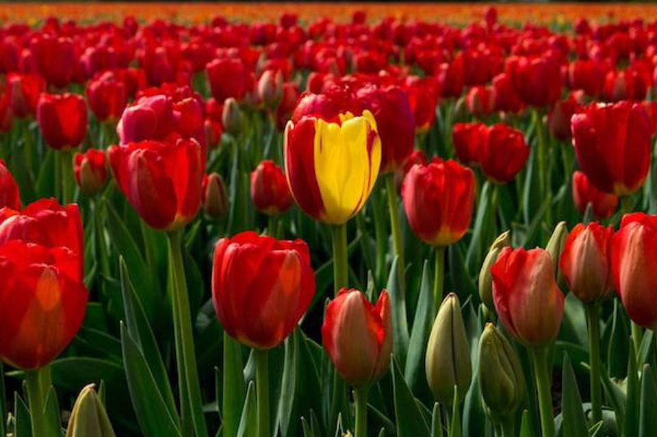 A single yellow tulip in a field of red