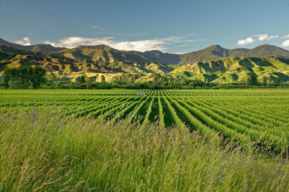 Vineyard, winery New Zealand, typical Marlborough landscape with vineyards and roads