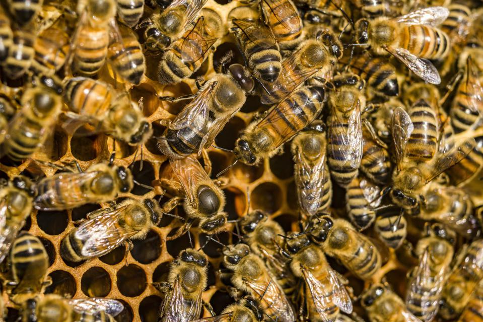 Honey bees crawling on a honeycomb, a queen is laying eggs into a cell.