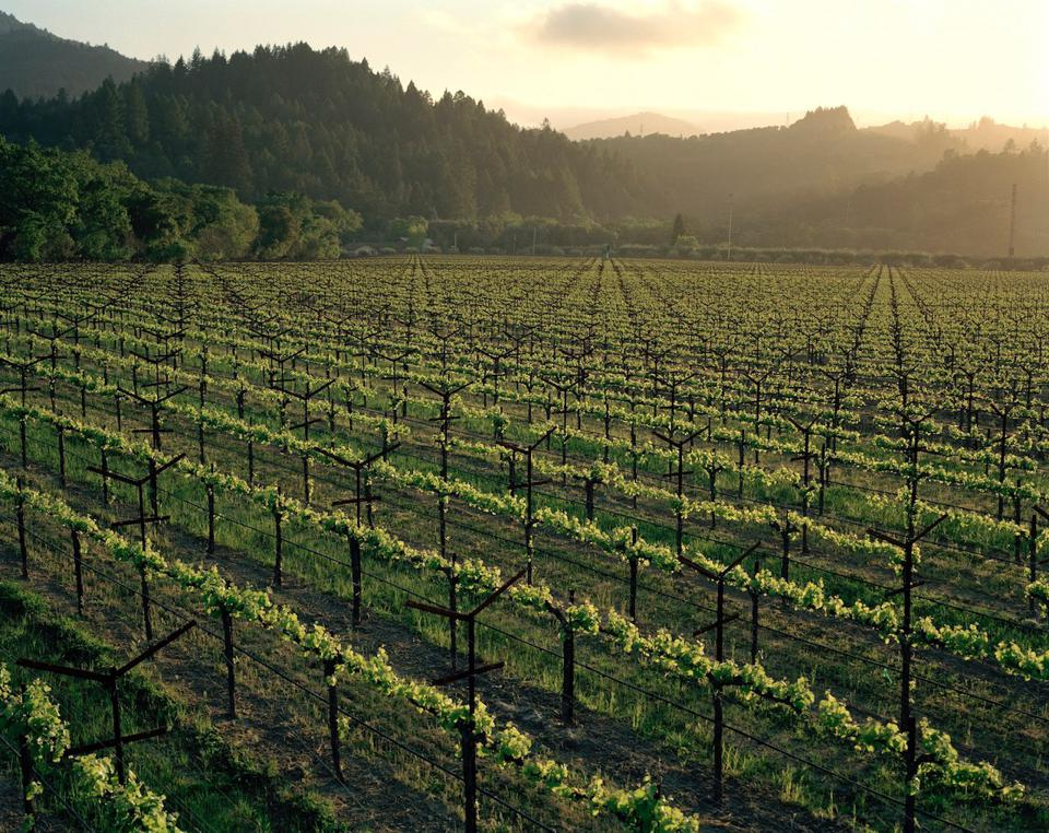 Spottswoode Estate vineyard