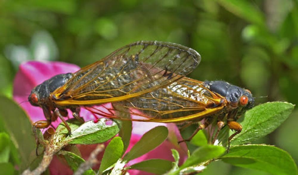 Cicadas in US Brood X Brood 10