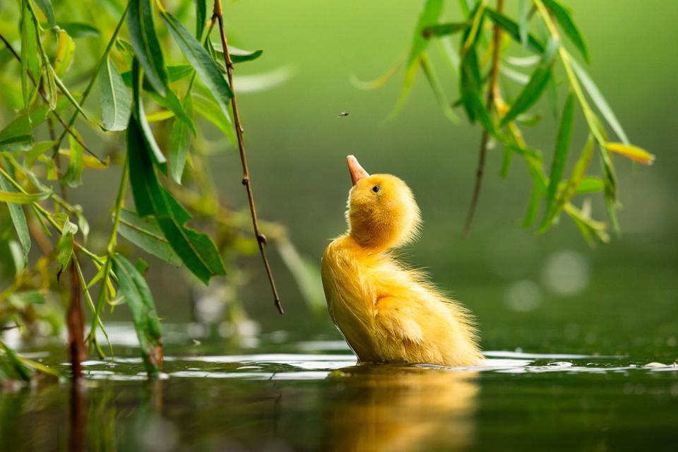 A Mallard duckling chasing a fly in a pond in Prague.