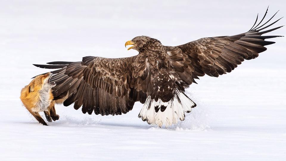 A White-tailed sea-eagle slaps an impertinent fox.