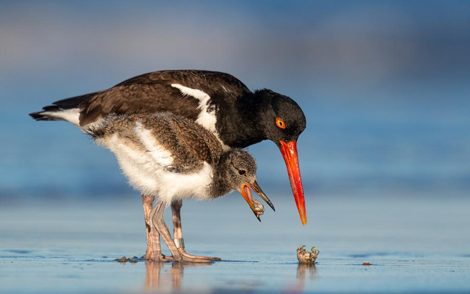 A young oystercatcher bird with his mother learning to open crustaceans.