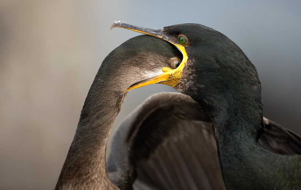 A hungry juvenile Shag bird dives down its mother throat looking for fish.