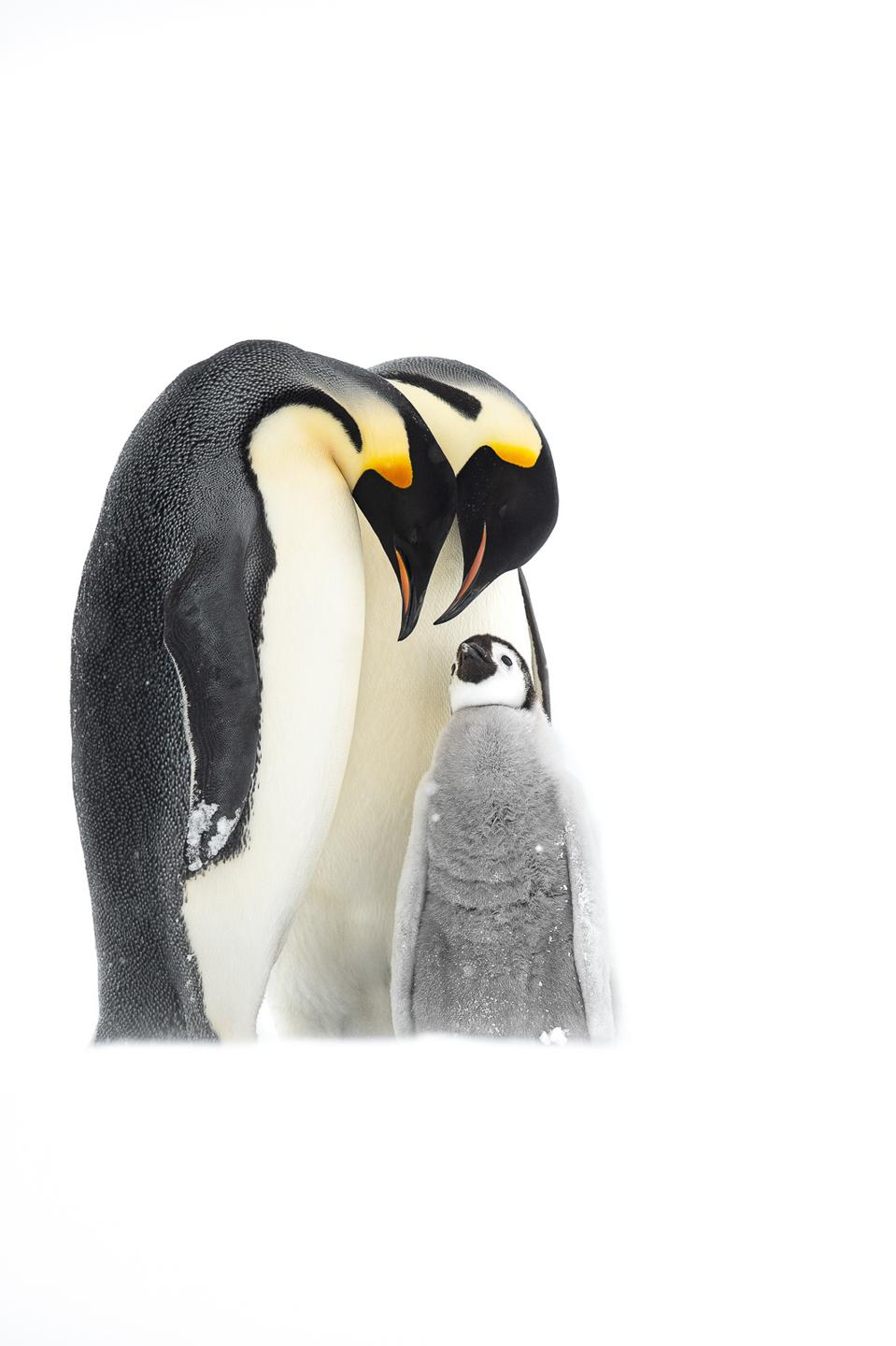 Emperor penguins with their baby.