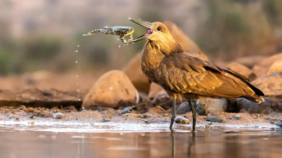 A Hamerkop bird eating a toad in South Africa.