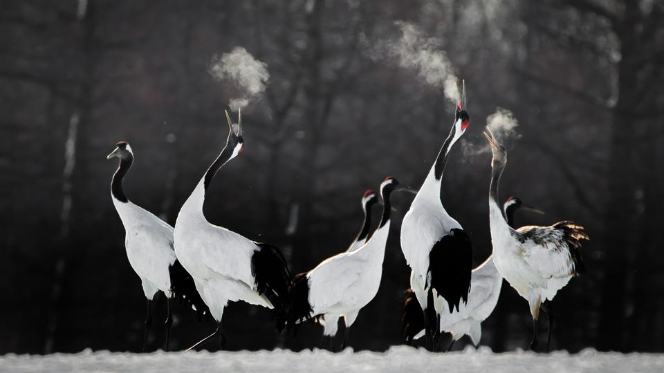 Red-crowned cranes performing honking rituals during the winter.