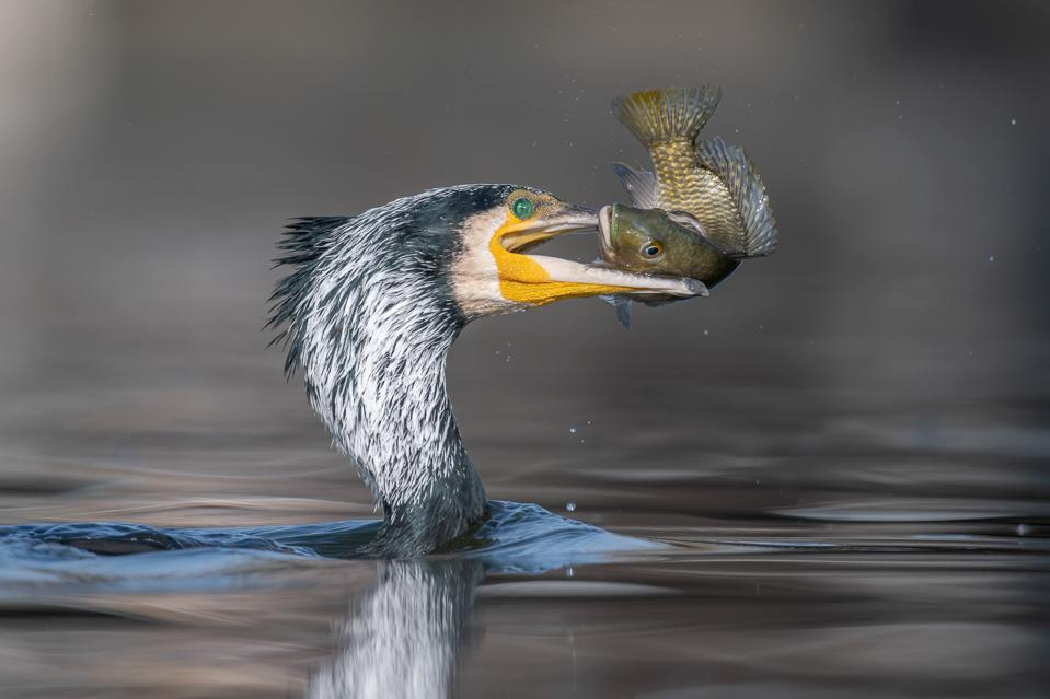 A Great cormorant bird with a fish in its beak.