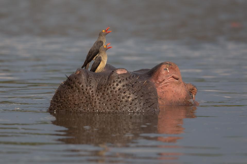 Red-billed oxpecker birds feeding on parasites that grow on hippopotamus skin.