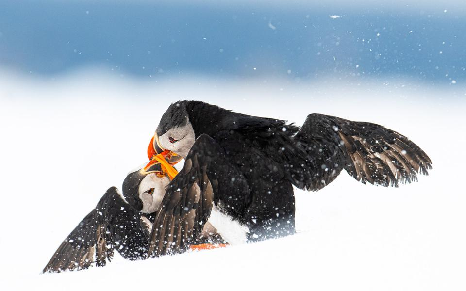 Two Puffin birds fighting on snow.