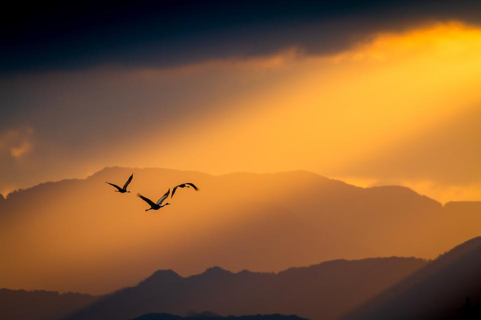 A small group of flying cranes with red sun in background.