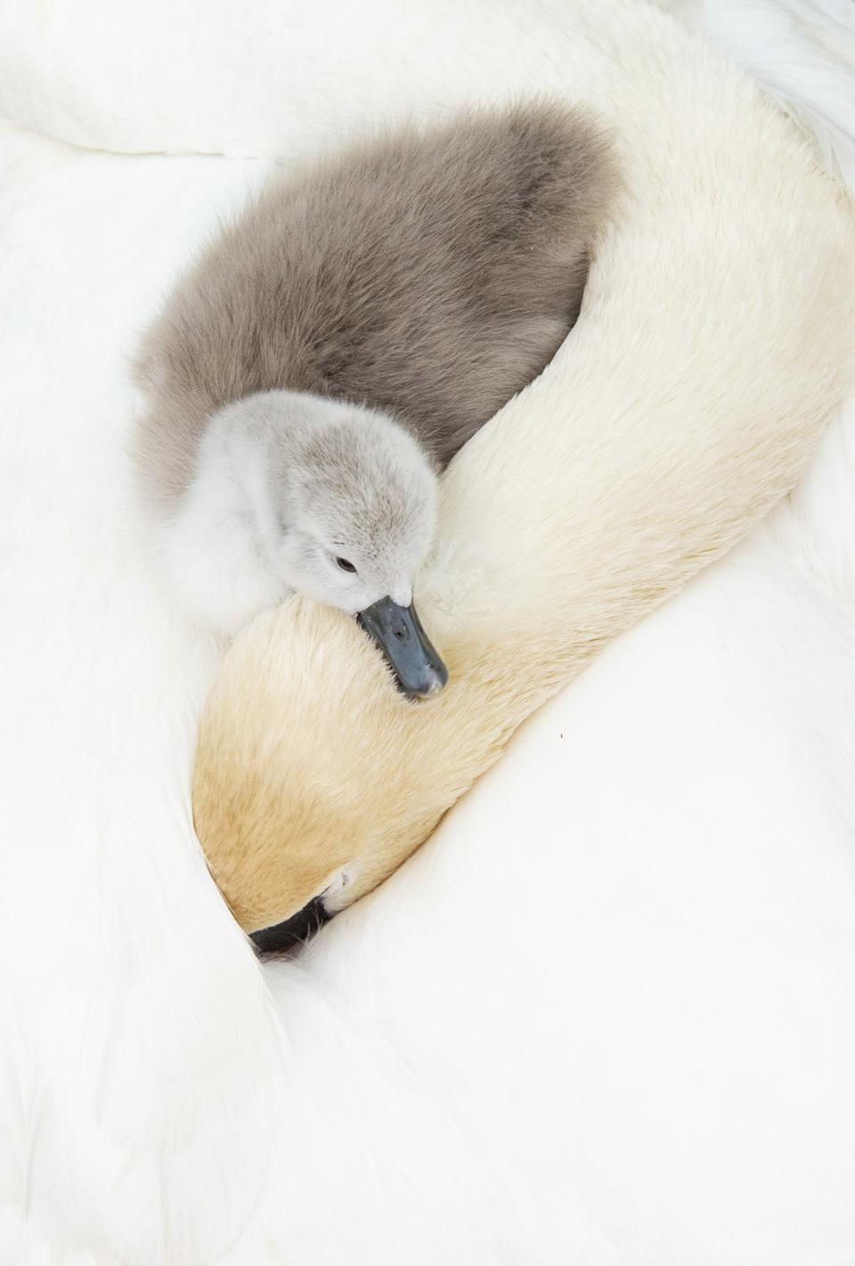 An infant Mute swan rests its head on its sleeping mother.