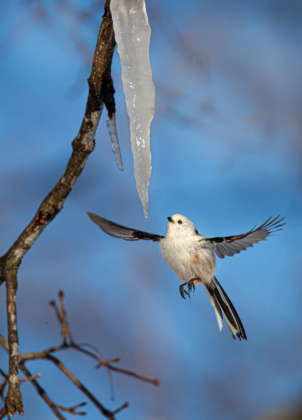 Long-tailed tit bird drinks water dripping from icicles