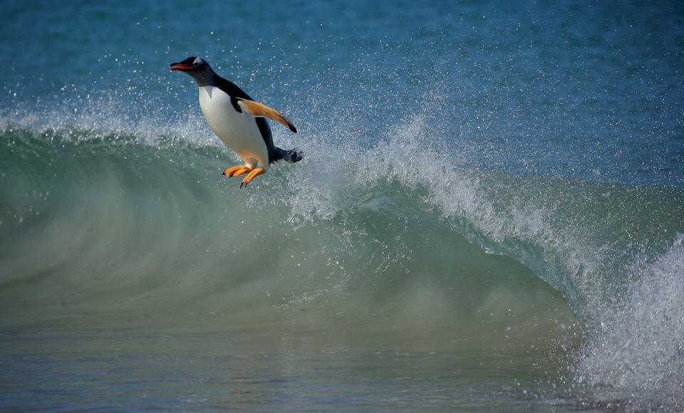 A Gentoo penguin surfing in the blue sea