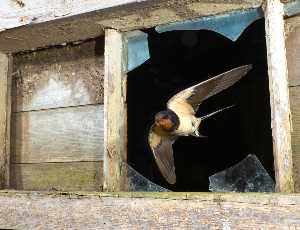Swallows returning to the same stable on a farm every year to nest.