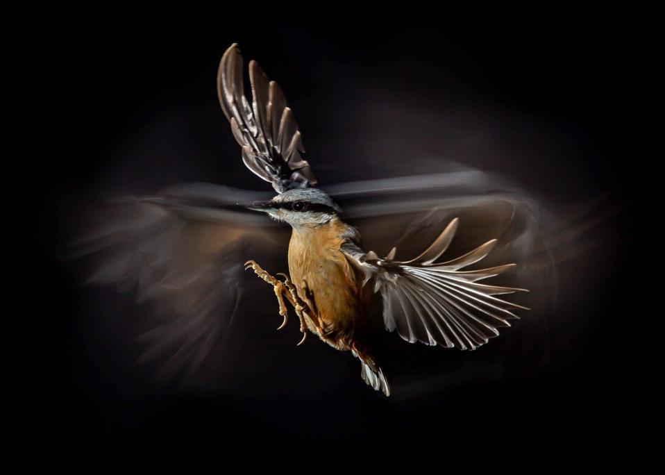 Eurasian nuthatch bird caught in flight.