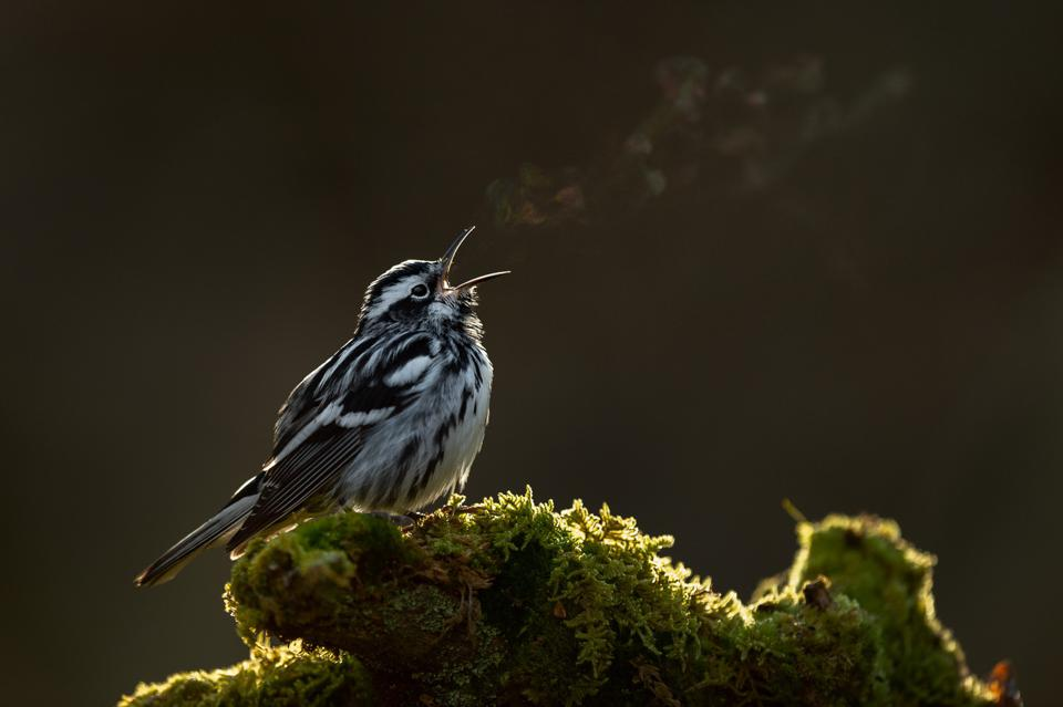Black-and-white warbler singing at dawn.