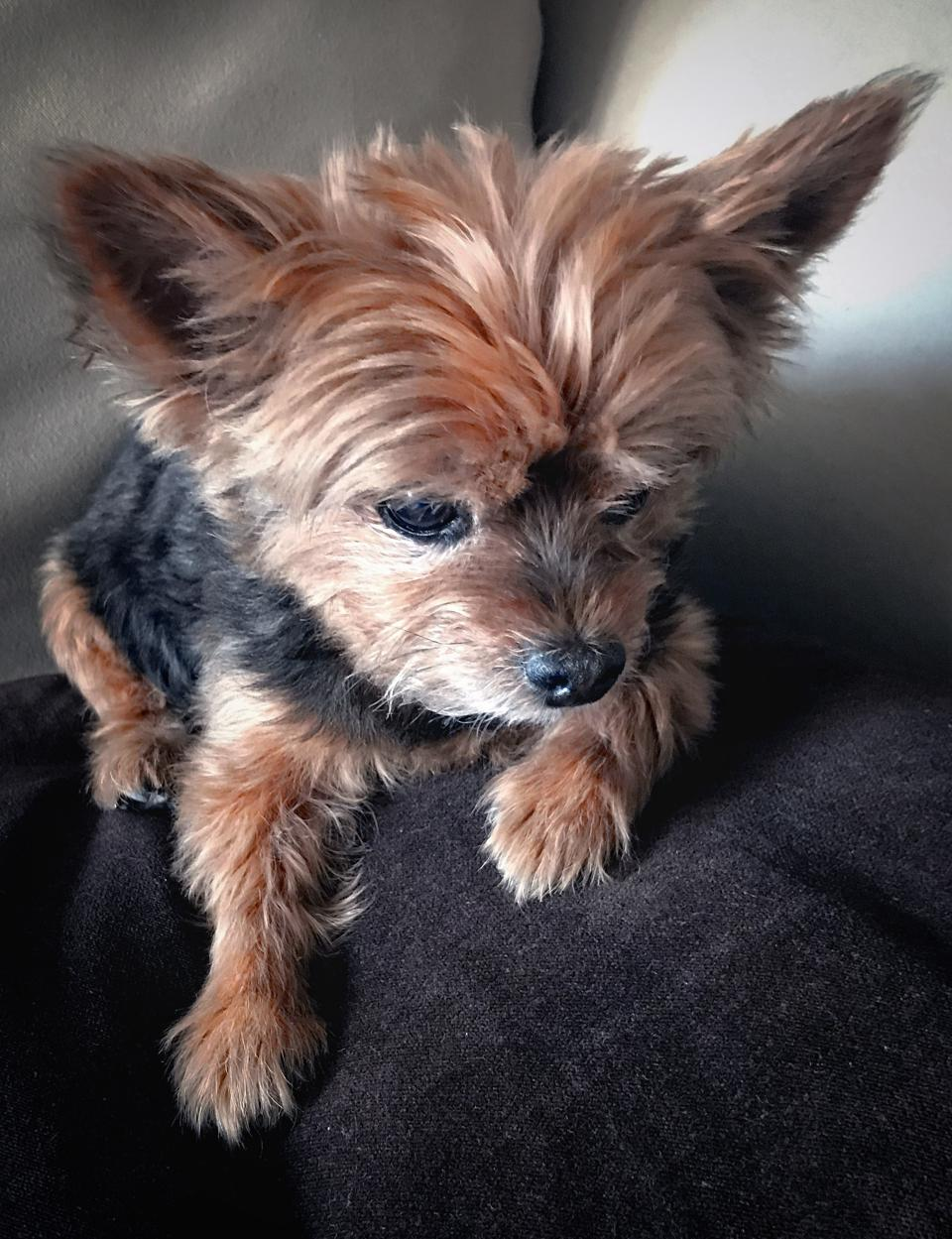 adorable yorkie relaxes after a visit to Palm Beach Veterinary Specialits