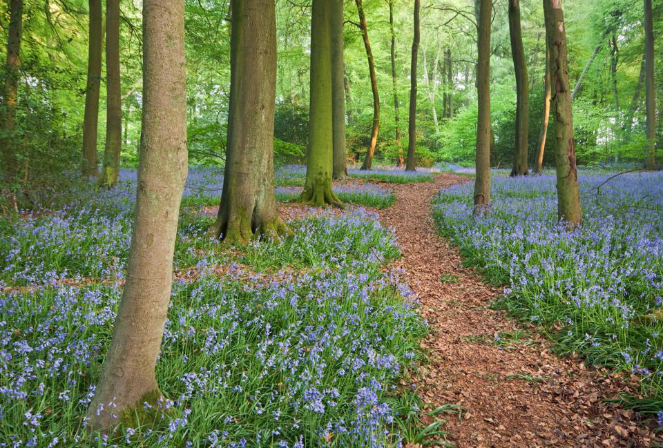 A,Trail,Through,Bluebell,Woods,In,England,At,Their,Peak