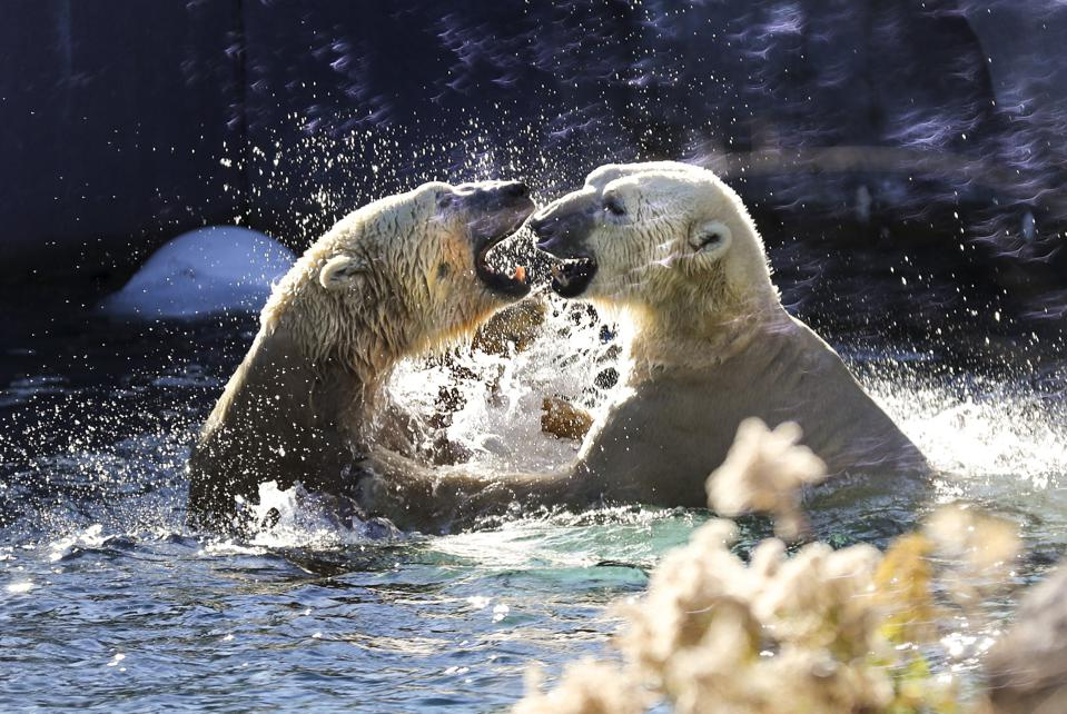 Polar Bears at Toronto Zoo