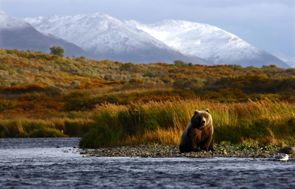 A brown bear sitting by the side of a river with snowy mountains behind