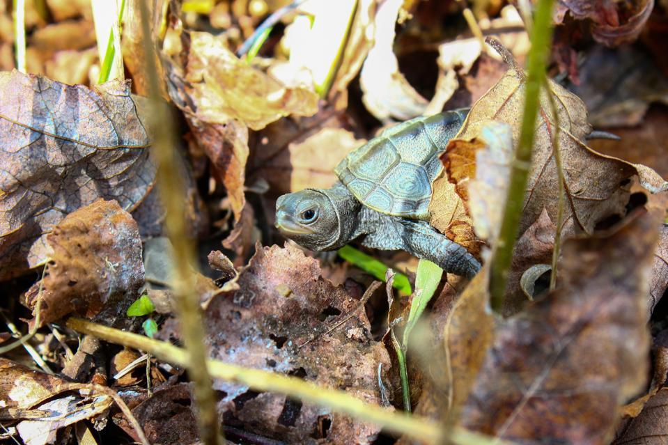 The Wetlands Institute Terrapin Diamondback turtles Salt Marsh Ecosystem Wildlife
